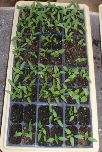 One of my trays of pepper seedlings, mostly 3 plants per pot pre-thinning