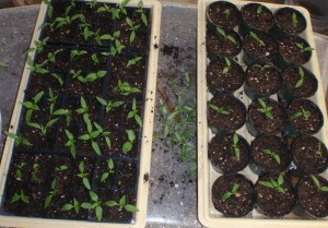 The first tray of pepper seedlings has been thinned and become two trays.