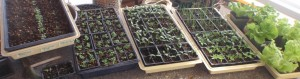 flats of crowded seedlings