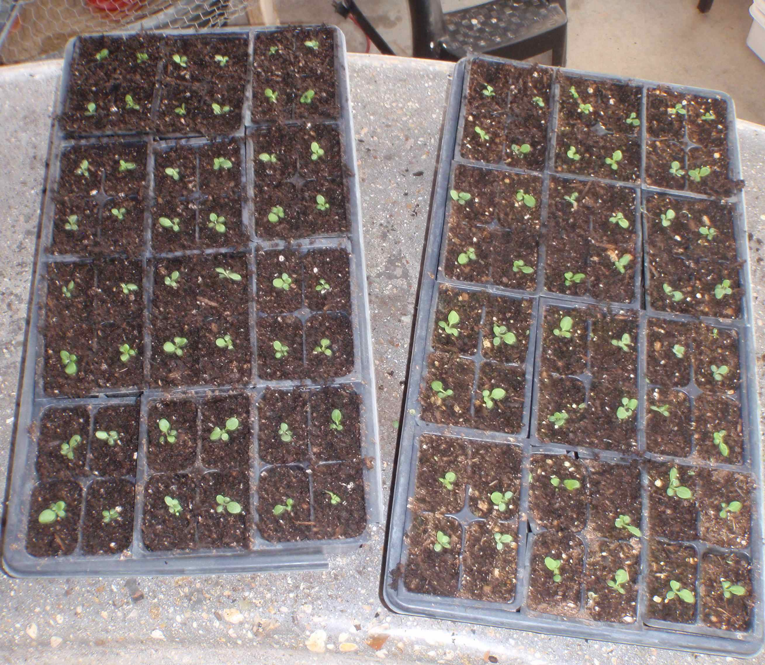 Thin Out Seedlings - Groomed Inicio