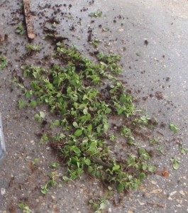 The discarded petunia seedlings