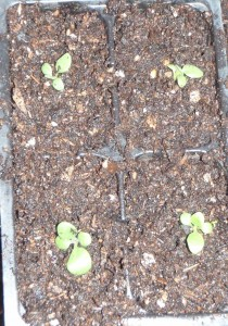 a newly transplanted 4 cell pack of petunias