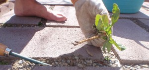 perfect weed root removal with ancient garden wisdom ease