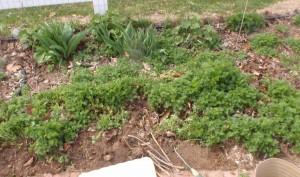 volunteer larkspur seedlings that need to be thinned