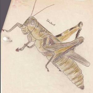 sketch of mature grasshopper