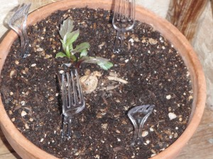 plastic forks deter cats from sleeping on tender plants