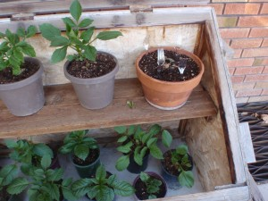 dahlias being started in pots spend days in the open cold frame