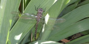 I was brushing right up against the dragonfly before I saw him!  So glad he didn't fly out in my face!