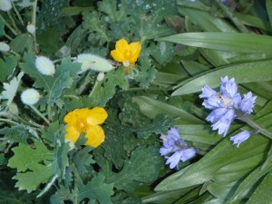 """another photo op with a yellow celandine poppy and <a href=""""http://www.whiteflowerfarm.com/310831-product.html#.UZLqN5UbQ0o"""" target=""""_blank"""">Spanish blue bells</a>"""