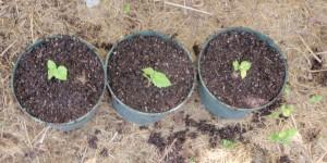 Catawba grape seedlings dug and potted