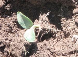 pumpkin seedling roots before transplanting