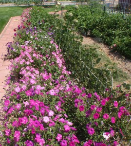 The jalepeno plants interspersed among the petunias are loaded. The black tepary beans along the right hand side of the row have a way of looking  delicate and robust all at the same time.