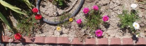 portulaca in early summer along a hot, sunny brick border will fill out more over the summer