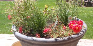 """red portulaca around the edge of what I call my 24 hour patio pot, since it has the portulaca blooming by day and the <a href=""""http://dailyimprovisations.com/fun-flowers-to-grow-from-seed-night-phlox-midnight-candy/"""" target=""""_blank"""">night phlox blooming by night</a> (plus, the hot paper lantern pepper in the middle)"""