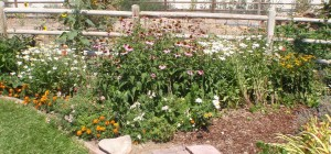 pink coneflowers, Shasta daisies, Queen Sophia marigolds, snap dragons, and perennial black-eyed Susans in an area that had tulips, then double Shirley poppies earlier in the year