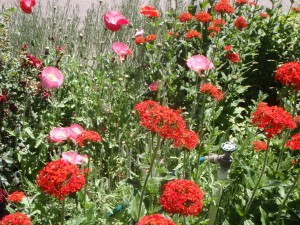 pink double Shirley poppies volunteered in among the perennial red Maltese cross