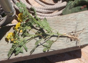 The root of the buffalo burr weed may be it's most vulnerable place, but it is also what allows it to become a tumble weed.