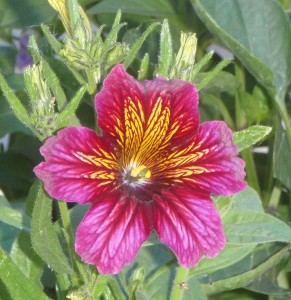 One of the burgundy colors resulting from Salpiglossis Royal Mix seed.