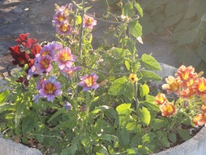 Salpiglossis in early July as the sun is setting in Southwest Idaho