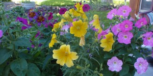 Salpiglossis mixed with petunias in a patio pot; the yellow Salpiglossis shows the color variation much less than the other colors do