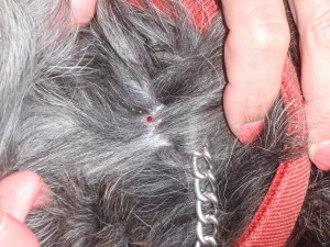What the spot looked like right after the tick was removed from the dog's neck.
