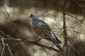 "turtle dove found in Israel (photo from <a href=""http://www.flickr.com/photos/59787340@N00/2507356077/in/photolist-4PyRBc"" target=""_blank"">Flickr by David King</a>)"