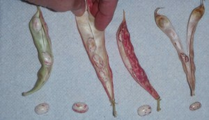 Stages of a Flambo bean pod, left to right: green, still leathery, almost dry, completely dry.