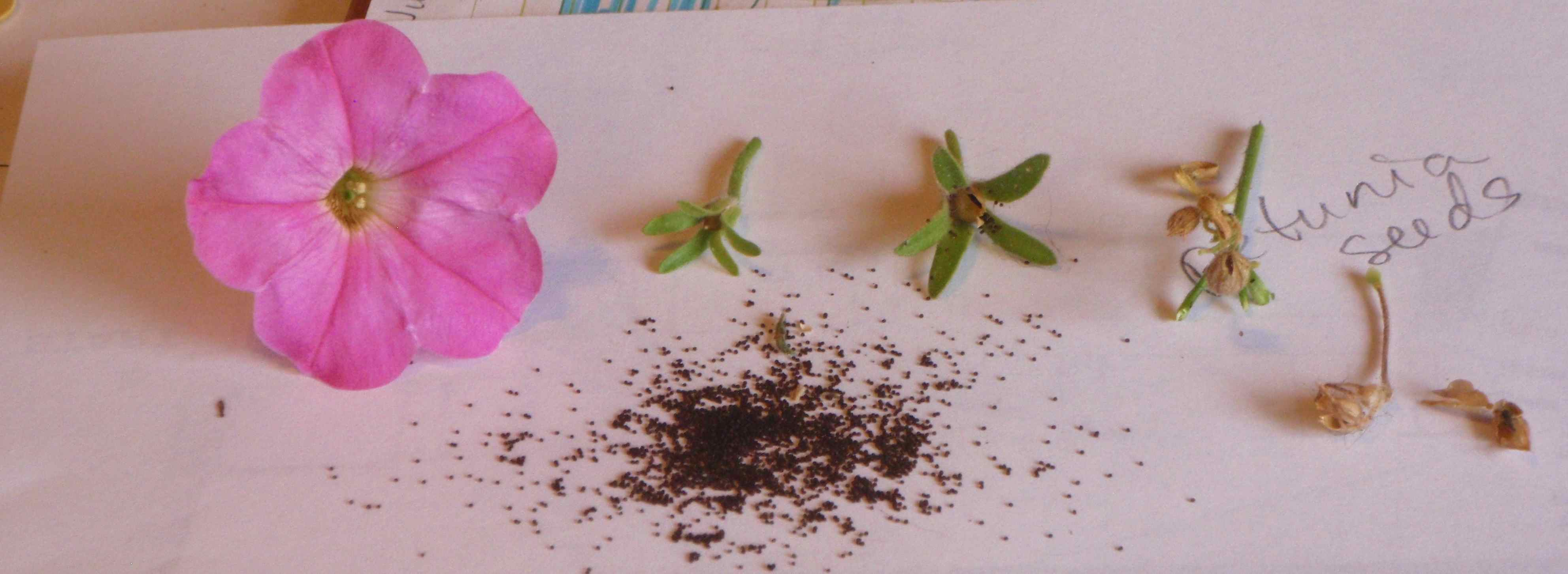 Left To Right Freshly Picked Petunia Still Small Unripe Seed Pod Dry