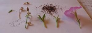 vibrant petunia to empty, crisp empty seed pod on the far left