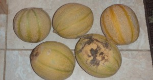 Some of my first, pre-swamp, Minnesota Midget cantaloupe.