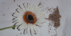 A stunning Cape Daisy bloom next to the seeds that I collected from a few flower heads on the same plant.