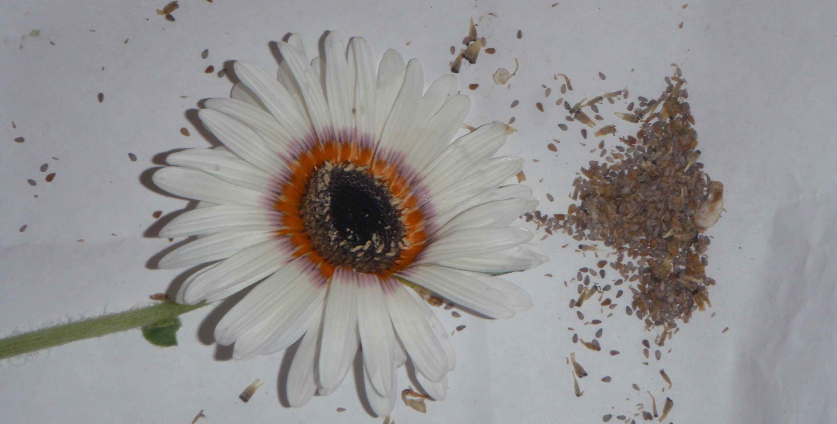 Saving cape daisy seeds is easy Where did daisies originate