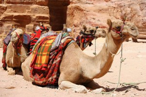 A camel's belly may fuel a good transportation option, but no nation's legal codes should be as thick as that.