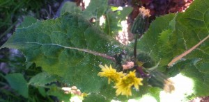 smooth sow thistle flowers and spent flowers