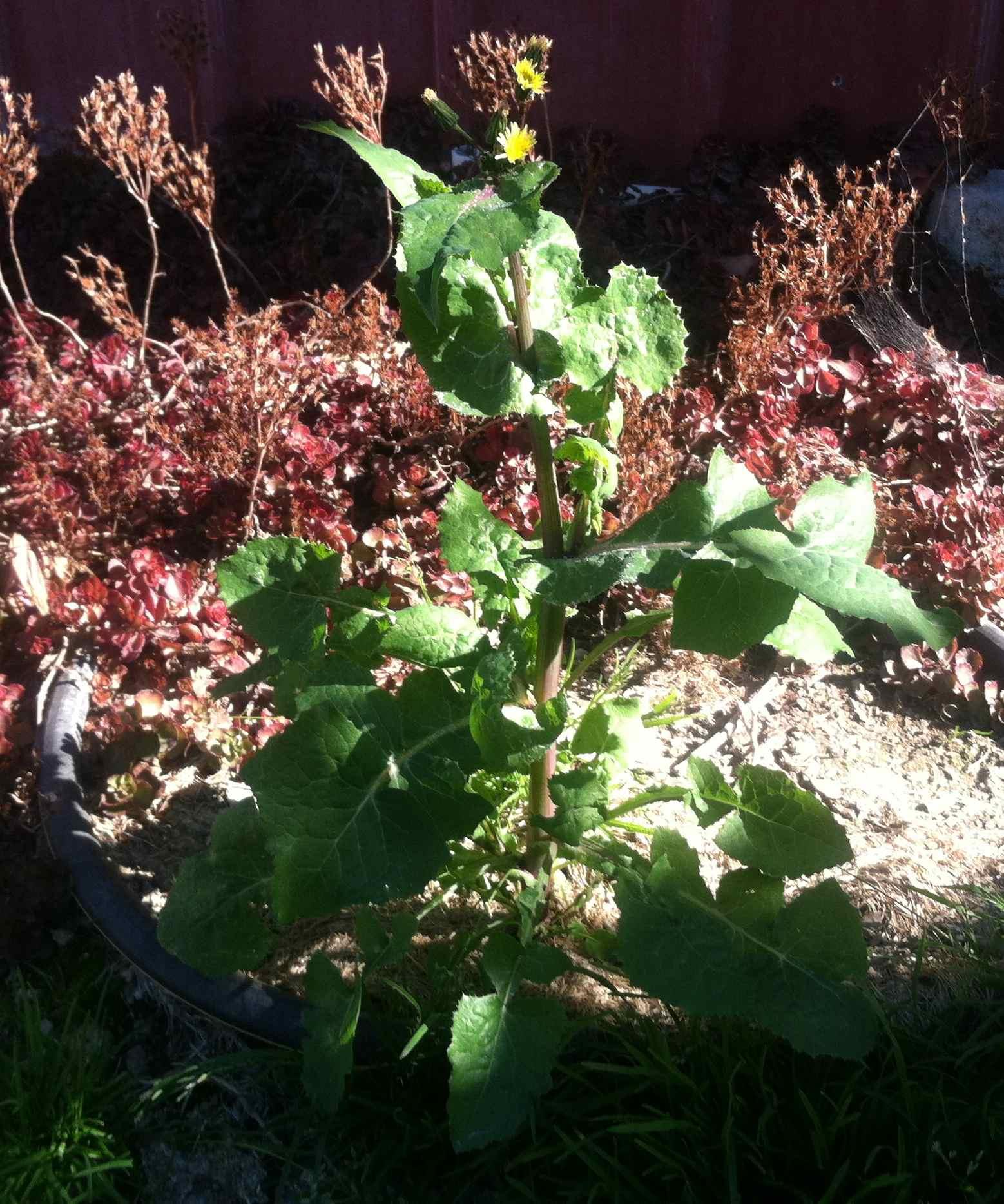 my backyard weeds u2013 smooth sow thistle