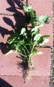 smooth sow thistle roots