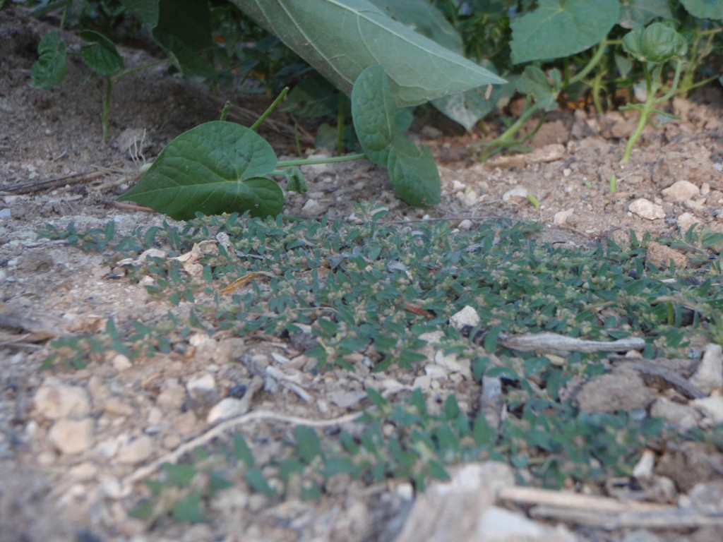 My Backyard Weeds – Prostrate Spurge