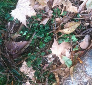 One of my common backyard weeds, this henbit is thriving under a light cover of mimosa tree seed pods and dry sycamore leaves. When I moved the debris, I found at least 6 henbit plants growing, all different sizes.