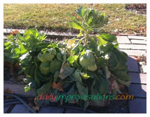 A vigorous Danish Ballhead cabbage plant with multiple cabbage heads.