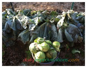 Even though the leaves on the Storage No. 4 cabbage plants have been chewed on by something, the heads of cabbage are in good shape.