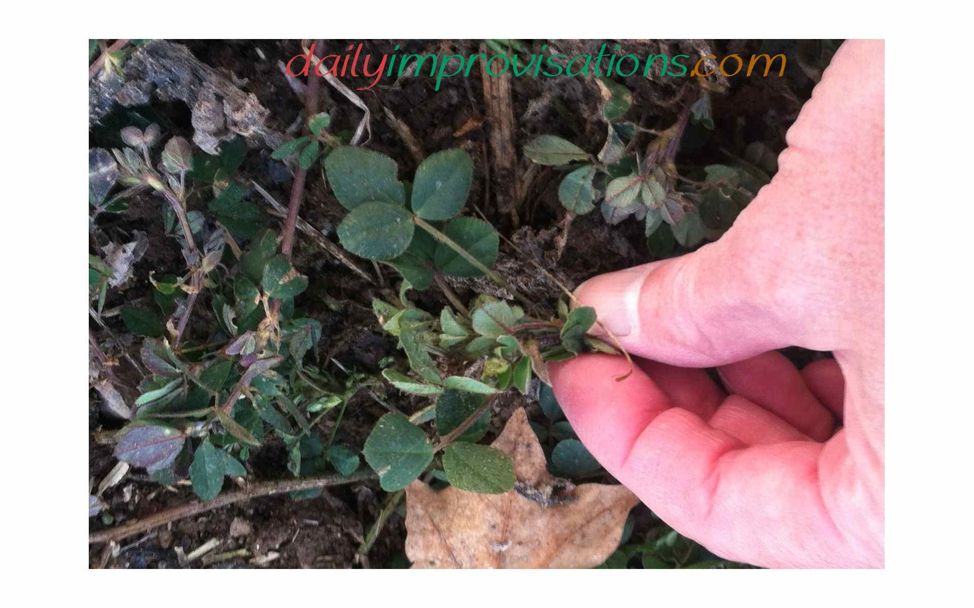 My Backyard Weeds Black Medic May Be Good For Your Soil