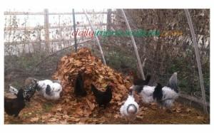 leaf bag pile for chickens