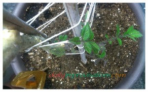 New growth came soon after the tomatoes were fertilized with a dilution of fish emulsion fertilizer.