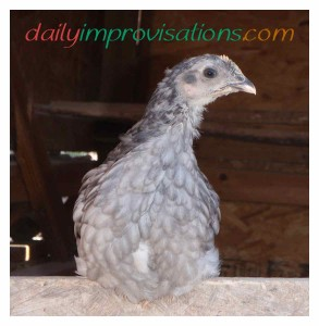 Misty the friendly gray hen as a younger chick.