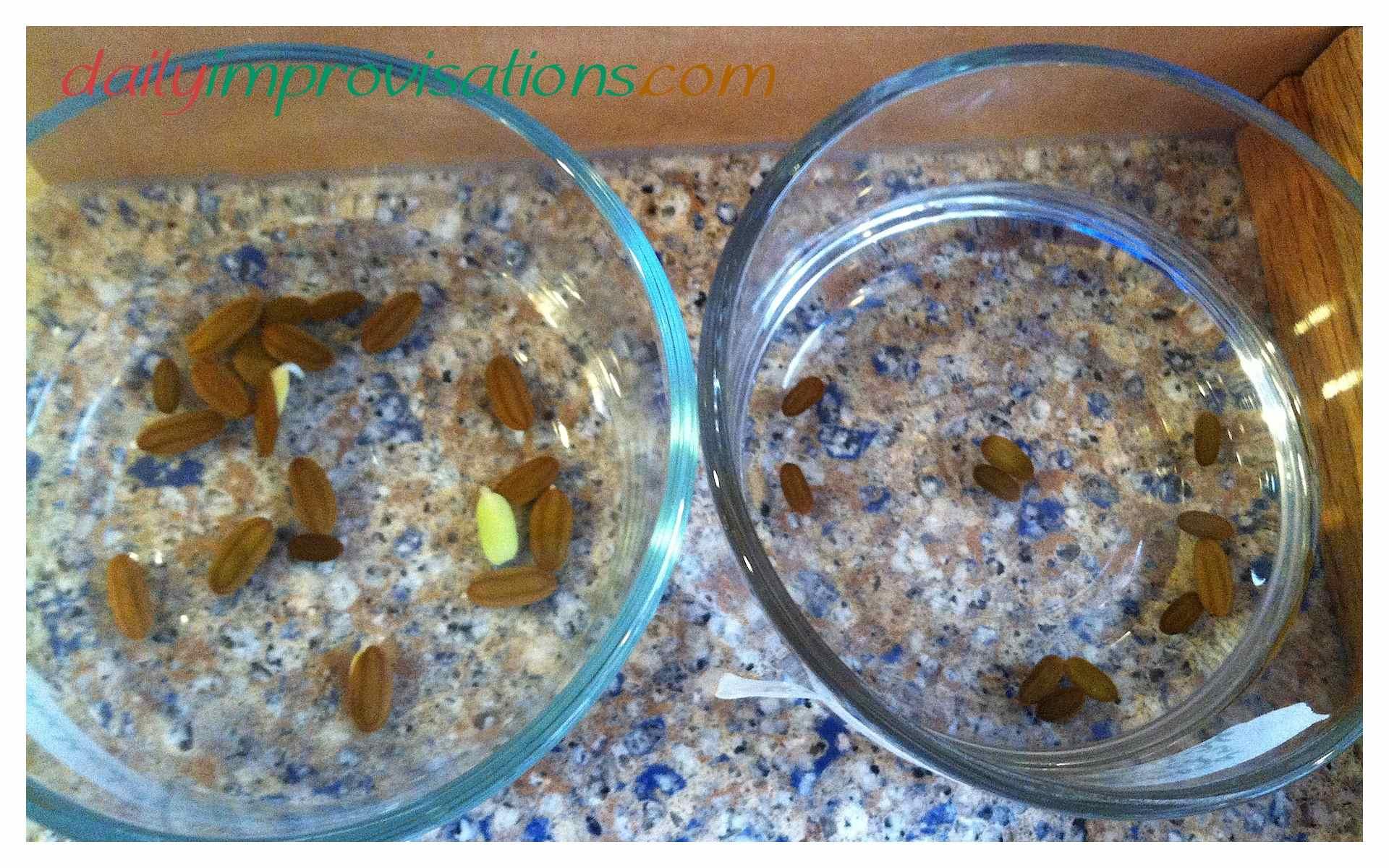 Mimosa tree seeds
