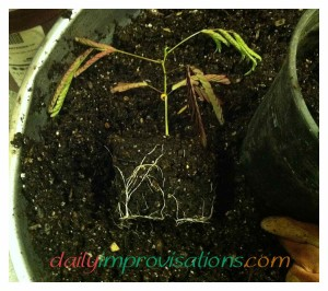 Mimosa tree seedling roots right before they are transplanted.