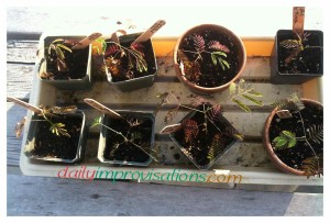 The nearly 6 week old mimosa tree seedlings in their original 3-4 inch pots, having an hour in the sun.