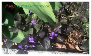 Some of my labrador violets getting their morning sun in early April.