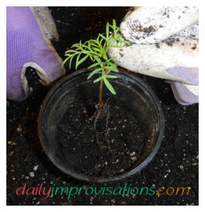 The long root has been spiraled into a pot gradually, adding soil along the way so that the root is not all clumped in one spot.