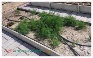 I had volunteer dill in more than once place. I choose the place I liked best and weeded the rest out (or used it). I will still be tidying up this array of dill and planting some onions in this raised bed, as well.